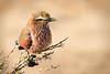SteveH Rufous-crowned Roller