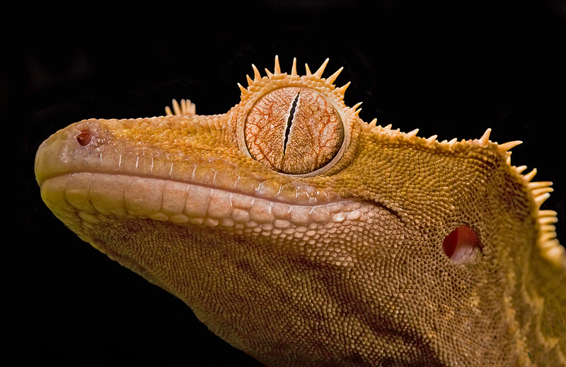 Steve H crested gecko