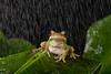 green frog rain