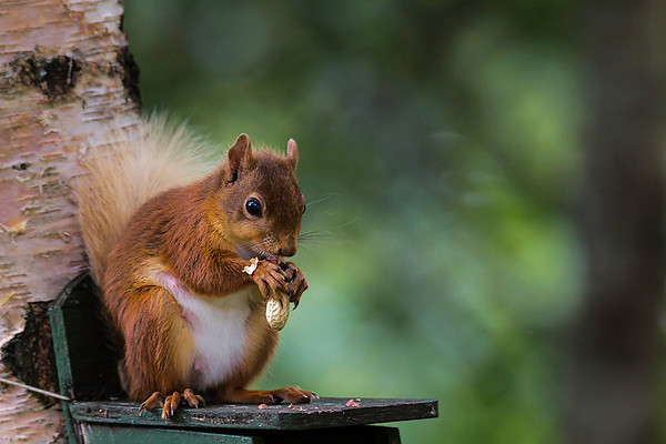 Scottish red squirrel