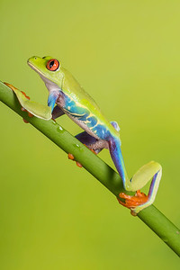 Amazon Red Eyed Tree Frog
