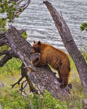 Bear in Tree<br /> by Wayne Tabor<br /> Wildlife<br /> Score 13