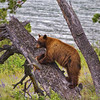 Bear in Tree<br /> by Wayne Tabor<br /> Wildlife<br /> Score 13