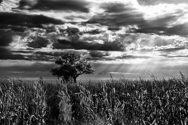 Tree in Cornfield<br /> Black and White