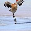 Sandhill Crane<br /> by Dale Lindenberg<br /> Wildlife<br /> Score 12