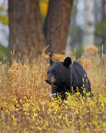 Black Bear on Blacktail Ridge
