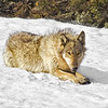 Wolf on Snowbank<br /> by Wayne Tabor<br /> Wildlife<br /> Score 15