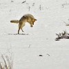 Coyote Hunting<br /> by Wayne Tabor<br /> Wildlife<br /> Score 13