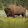 Bison Bull