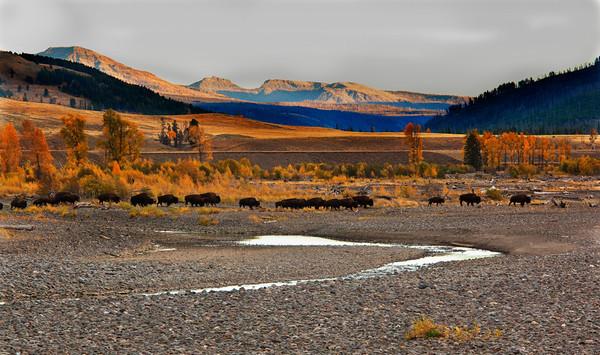 Buffalo Walk<br /> by Wayne Tabor<br /> Pictorial<br /> Score 12