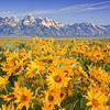 Teton Gold<br /> by Wayne Tabor<br /> Landscape<br /> Score 14