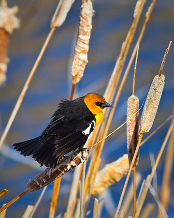 Yellowheaded Blackbird<br /> by Wayne Tabor<br /> Wildlife<br /> Score 12