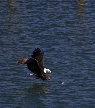 Eagle Fishing on Big Slide Lake