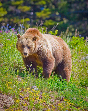 Grizzley female
