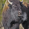 Bison's Breath<br /> by Wayne Tabor<br /> Wildlife Score 14
