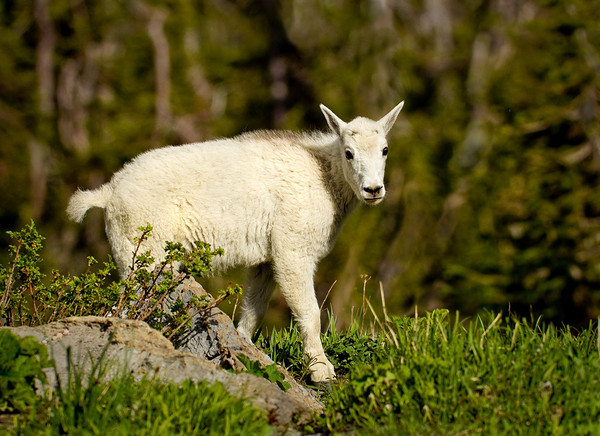Mountain Goat Kid<br /> by Wayne Tabor<br /> Nature<br /> Score:11