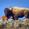 Bison Mother and Calf<br /> by Wayne Tabor<br /> Wildlife<br /> Score 13