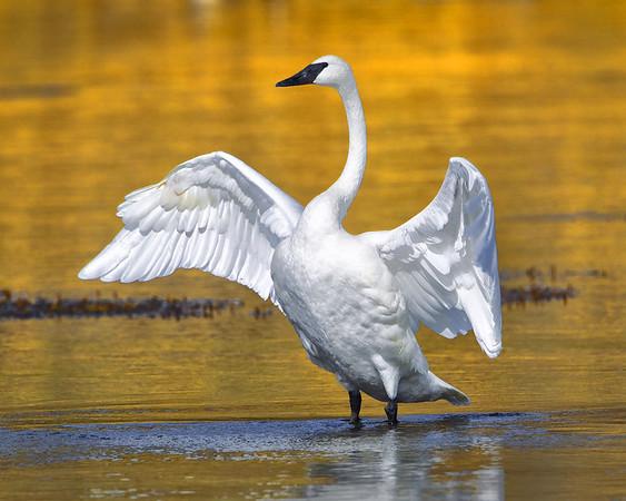 Trumpeter Swan Displaying