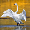 Trumpeter Swan Displaying