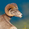Bighorn Ram<br /> 3RD PLACE NATURE<br /> ANNUAL AWARDS 2010