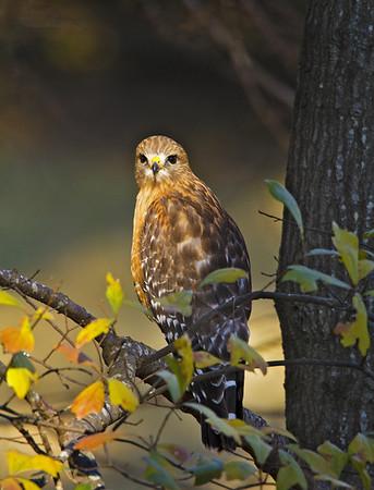 Young Hawk<br /> by Wayne Tabor<br /> Wildlife Score 12
