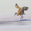 Sandhill Crane on Frozen Lake<br /> by Wayne Tabor<br /> Wildlife<br /> Score 14