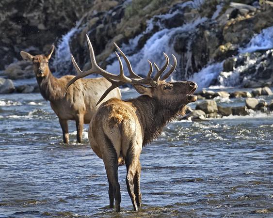 Elk Bugling at Falls