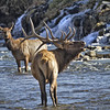 Elk Bugling at Falls