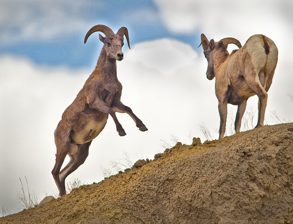 Young Rams Fighting