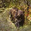 Teton Black Bear