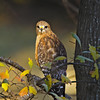 Young Hawk in Soft Light
