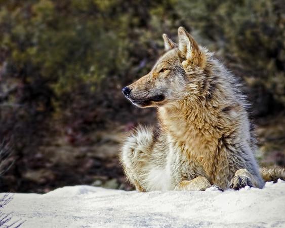 Wolf Gazing<br /> by Wayne Tabor<br /> Wildlife<br /> Score 13