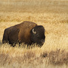Bison Bull in Hayden Valley