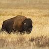 Bison Bull in Hayden Valley