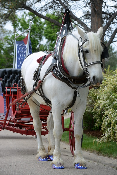 Jill, a Percheron draft horse owned by Jim Rice and Colorado Carriage and Wagon of Fort Collins, sports a star-spangled pedicure for the Memorial Day events at Resthaven Memory Gardens north of Loveland on Monday, May 28, 2018. (Photo by Craig Young / Loveland Reporter-Herald)