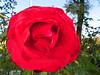 Lovely roses highlight the Memorial entry