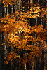 1835 Fall Leaves