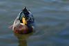 1683 duck
