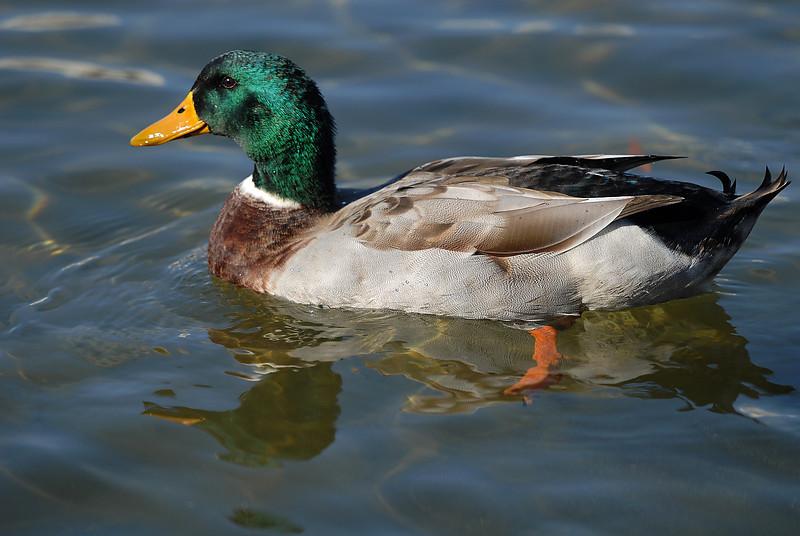 1681 duck