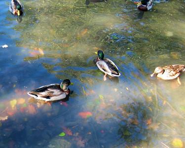 Autumn Ducks.JPG