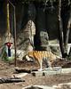 Spraying Tiger