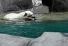 Young Polar Bear Swimming