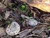 Hyacinths Coming Up