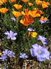 Poppies and Blue Flax