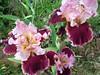 Cranberry Swirl Iris