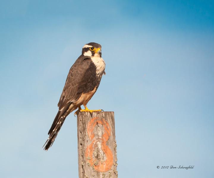 Palomado Falcon