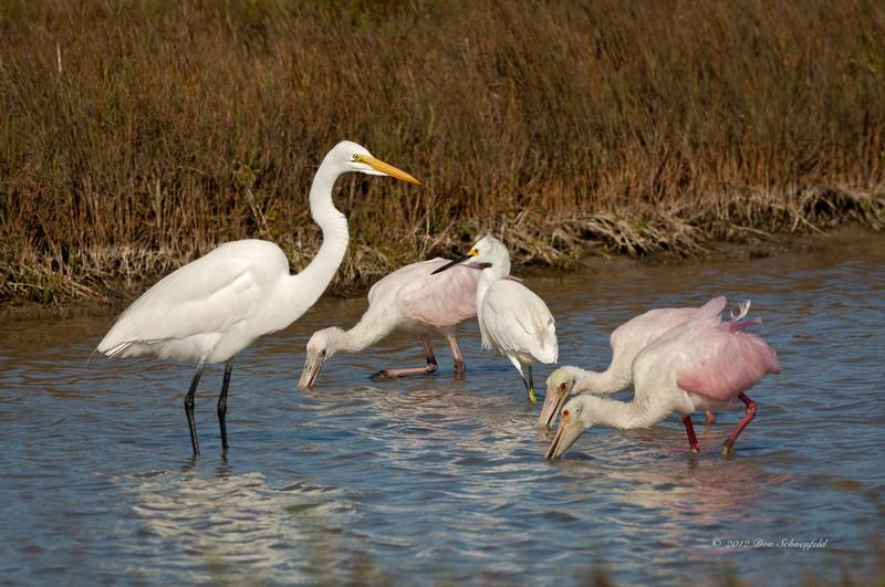 Roseate Spoonbills, Snowy Egret & Great Egret