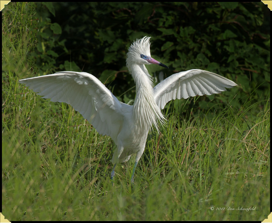 Reddish Egret (White Morph) copy