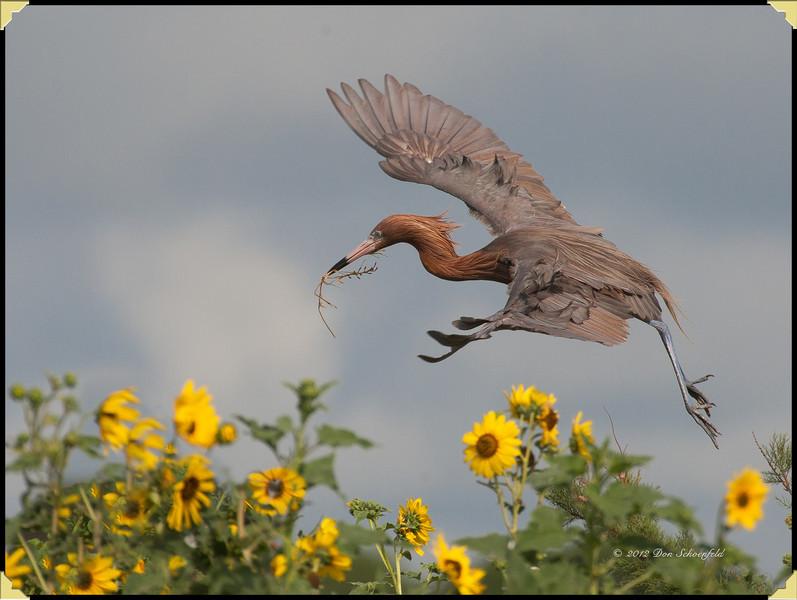 Redish Egret