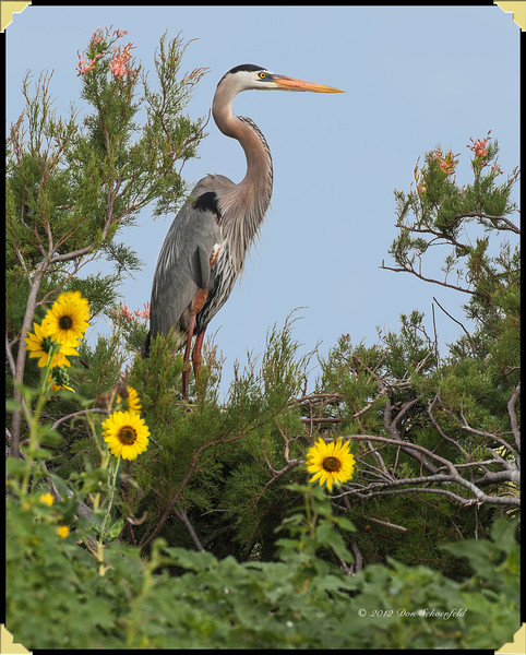 Great Blue Heron copy